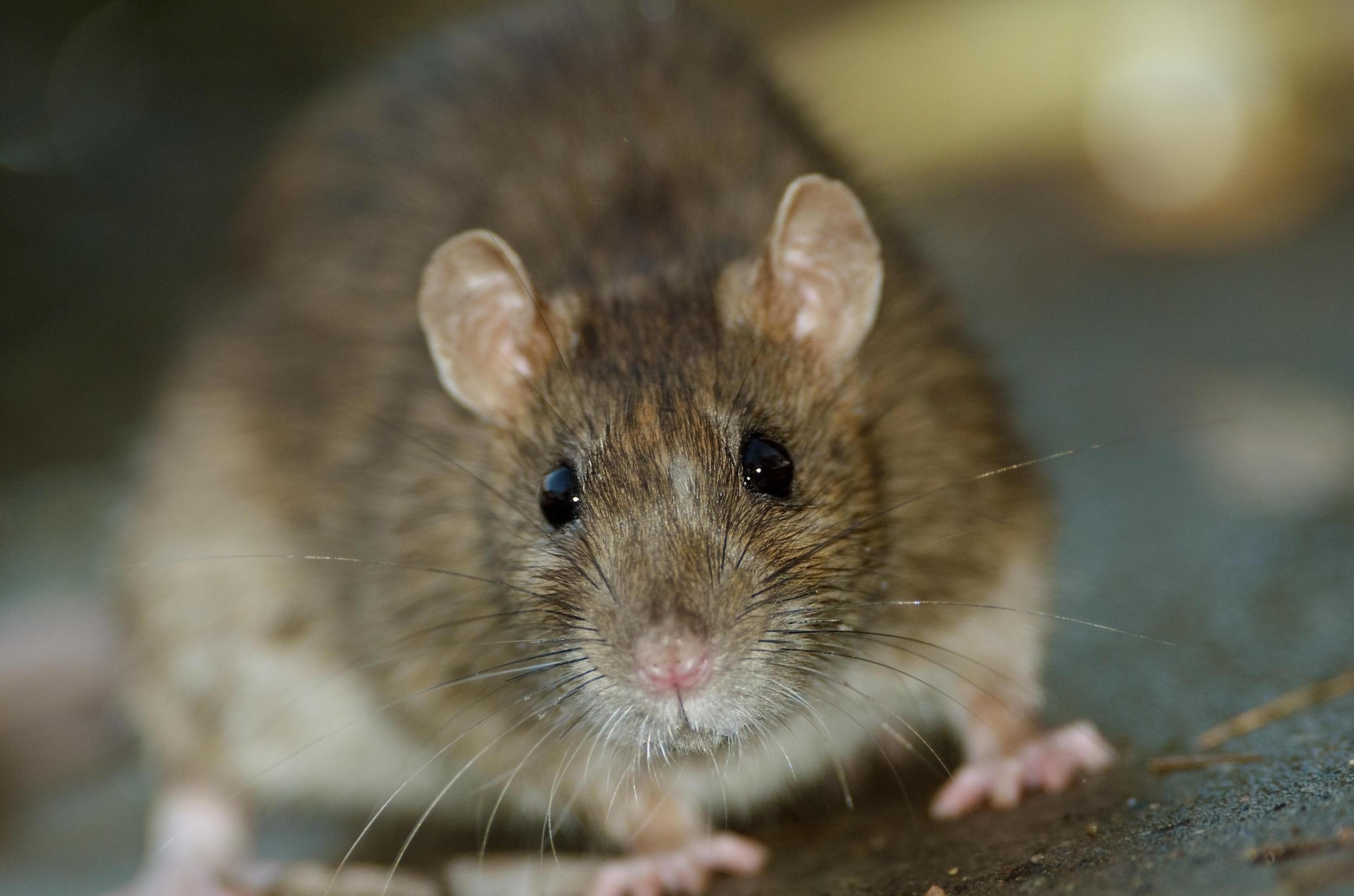 8 people infected in rare U.S. outbreak of rat virus - CBS News