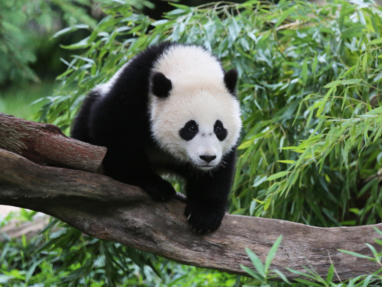 Bao Bao the panda prepares for move to China from the