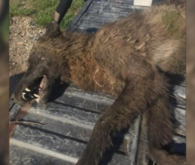 Dna Test Solves Mystery Of Wolf Like Creature Shot In Montana