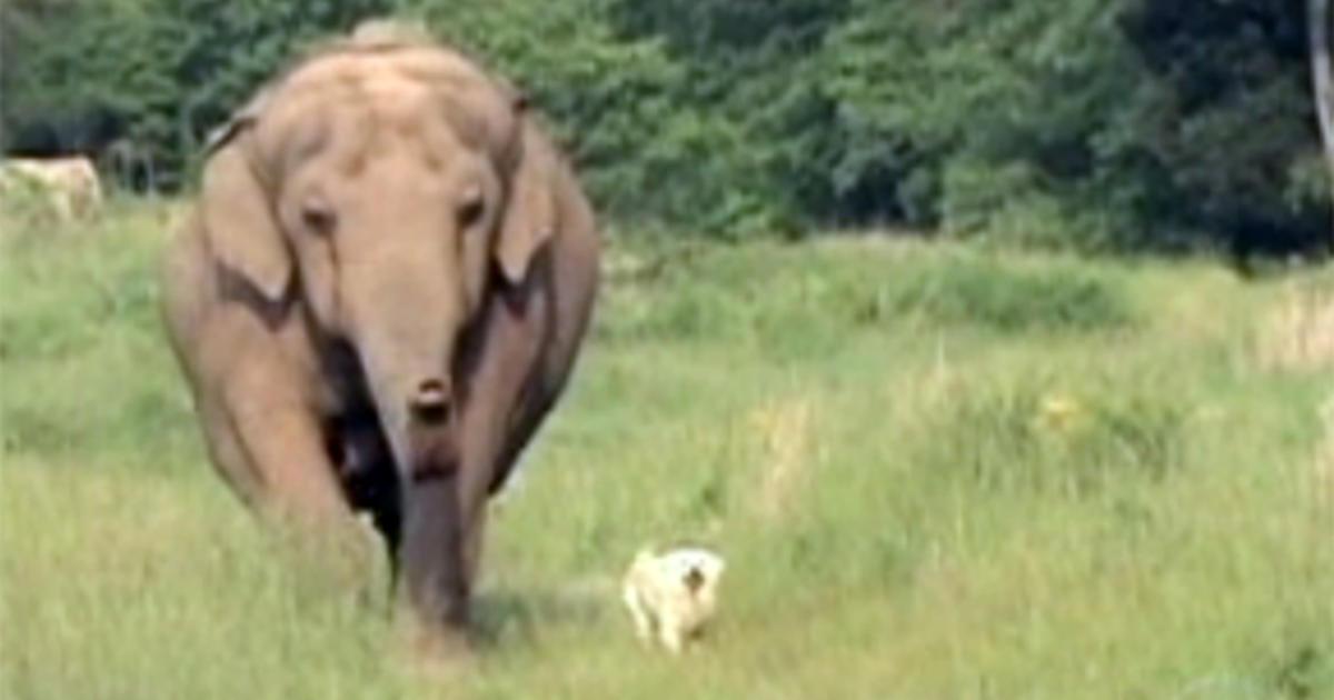 Tarra And Bella Elephant Loses Man's Best Friend CBS News