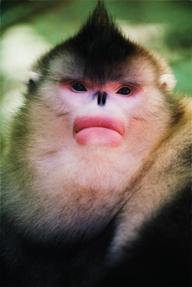 Monkey With Red Lips : monkey, China's, Snub-nosed, Monkeys