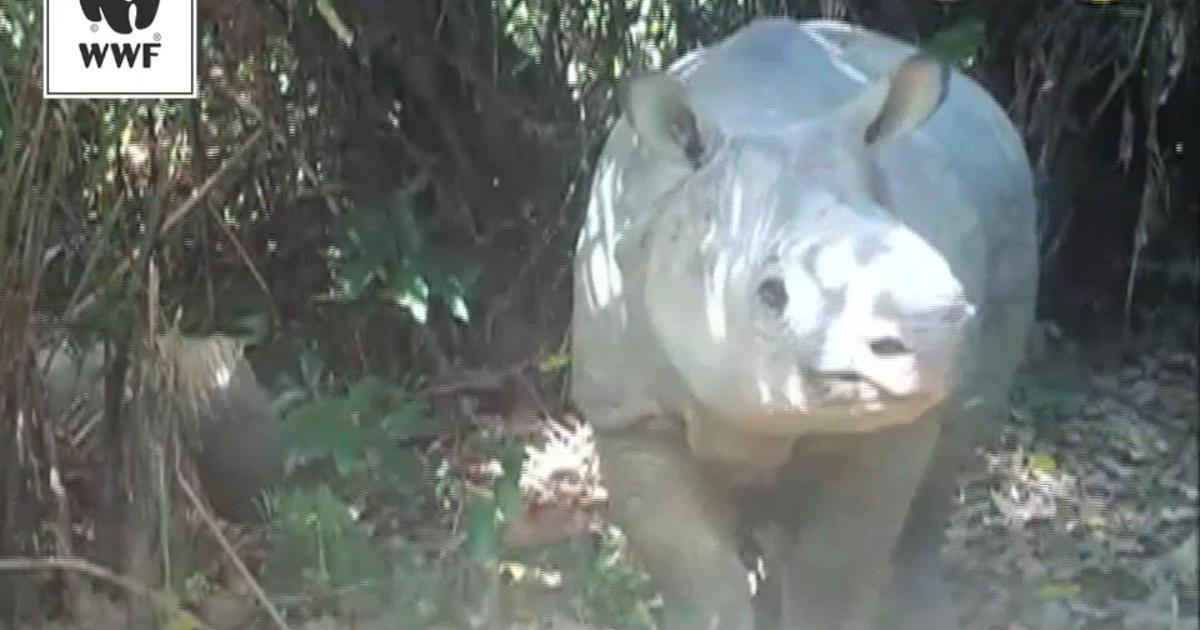 Nature cam captures rare rhino baby frolicking - CBS News