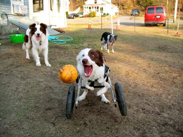 wheel chairs for dogs lounge chair towel dog on wheels paralyzed pets rock their 30 awesome animals pictures cbs news