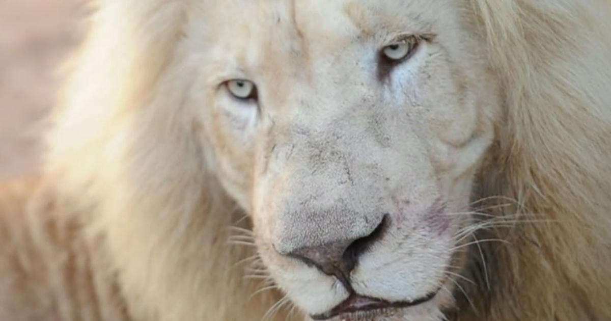 Girl Face Wallpaper For Mobile Greatest Threat To Africa S White Lions American Hunters