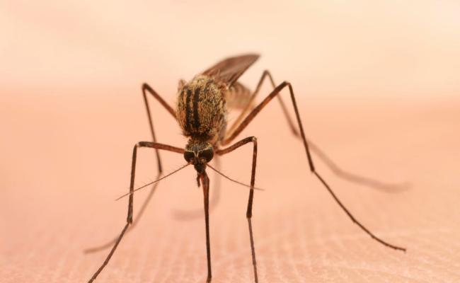 Mosquito Borne Chikungunya Virus Can Cause Brain Swelling