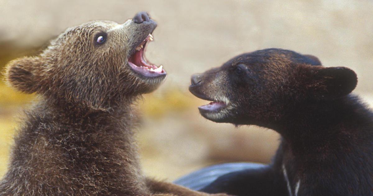 nature up close grizzlies