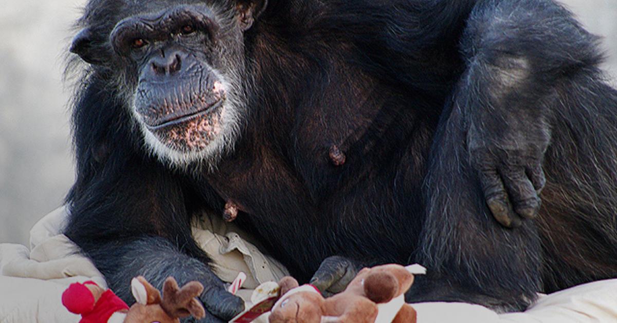 NIH Lab Chimpanzee Retirees Arrive At Chimp Haven In