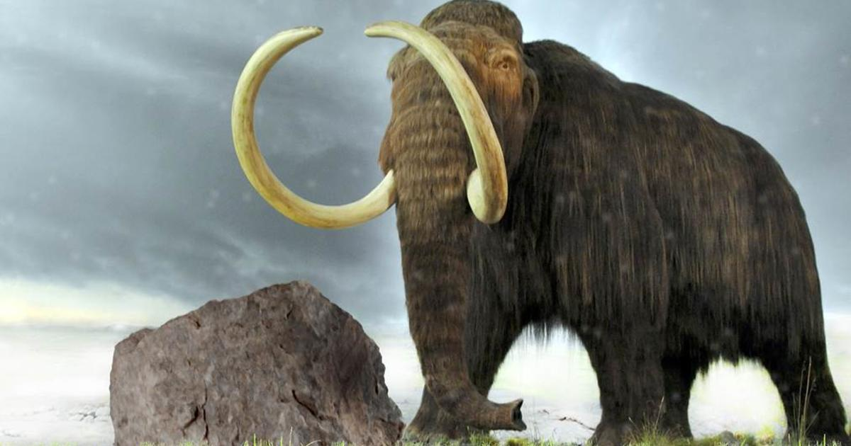 New clues to mammoths demise and possible return  CBS News