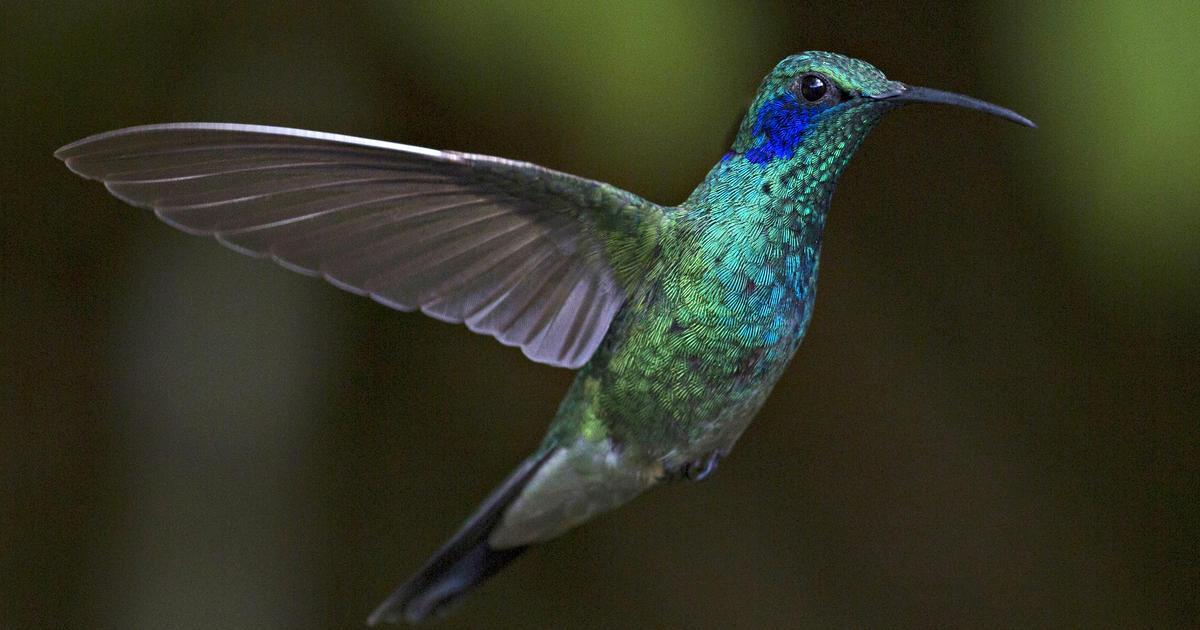 Green Crowned Brilliant  Hummingbirds of Costa Rica