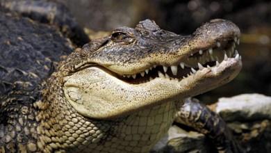 Photo of Ignora cuarentena para irse a pescar; lo devora un cocodrilo