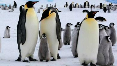 Pingüino emperador ya no se reproduce por el cambio climático