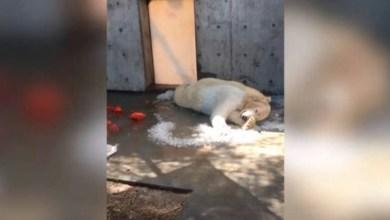 Video: Osa polar genera críticas al aferrarse al poco hielo que hay en su jaula