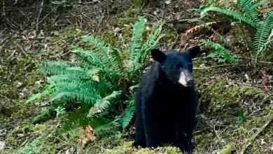 Sacrifican a oso negro por acostumbrarse a la comida de los turistas