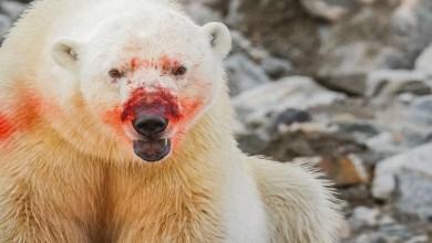 Photo of Osos polares se comen entre ellos por el cambio climático