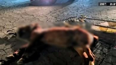 Photo of México: Muere yegua que era usada para cargar basura; detienen al dueño