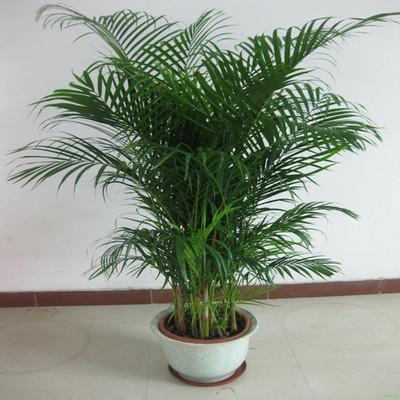 散尾葵 鳳尾竹 富貴椰子室內客廳大型綠植袖珍椰子盆栽吸甲醛包郵-阿里巴巴