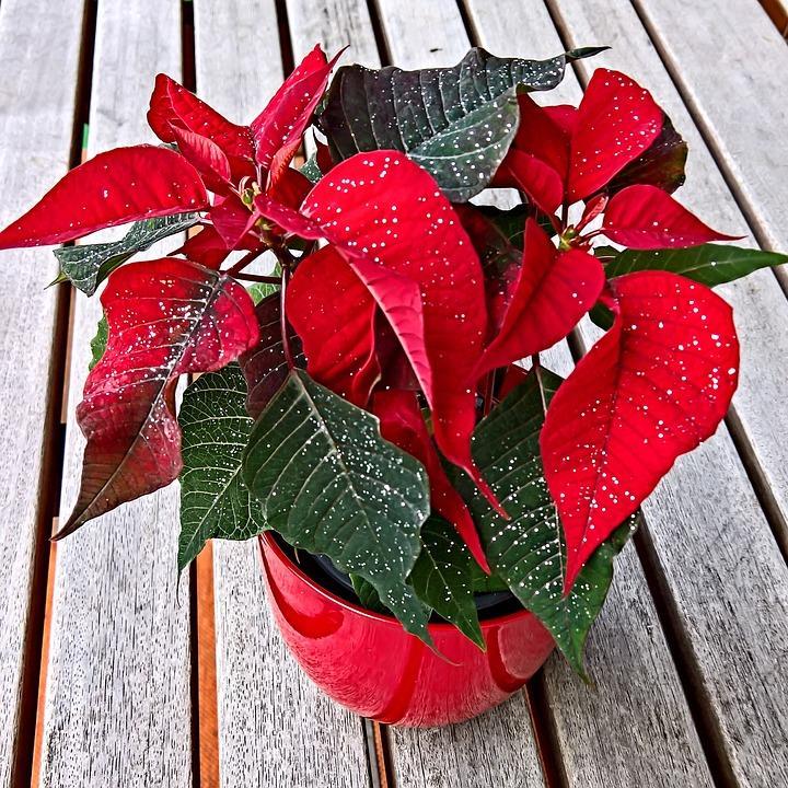 Come Curare Coltivare E Conservare La Stella Di Natale