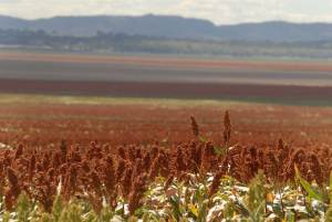 Sorghum in foreground of Liverpool Plain