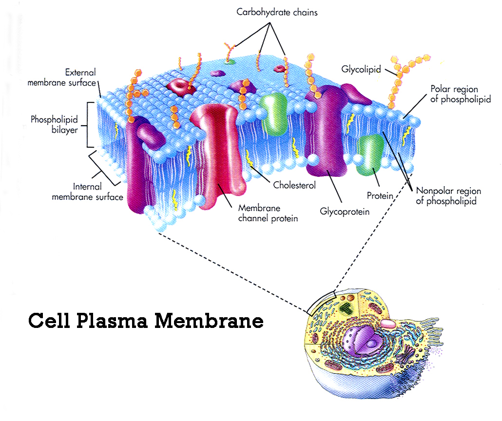 cell membrane diagram 99 dodge ram radio wiring organelle functions elena azzad 39s biology webpage
