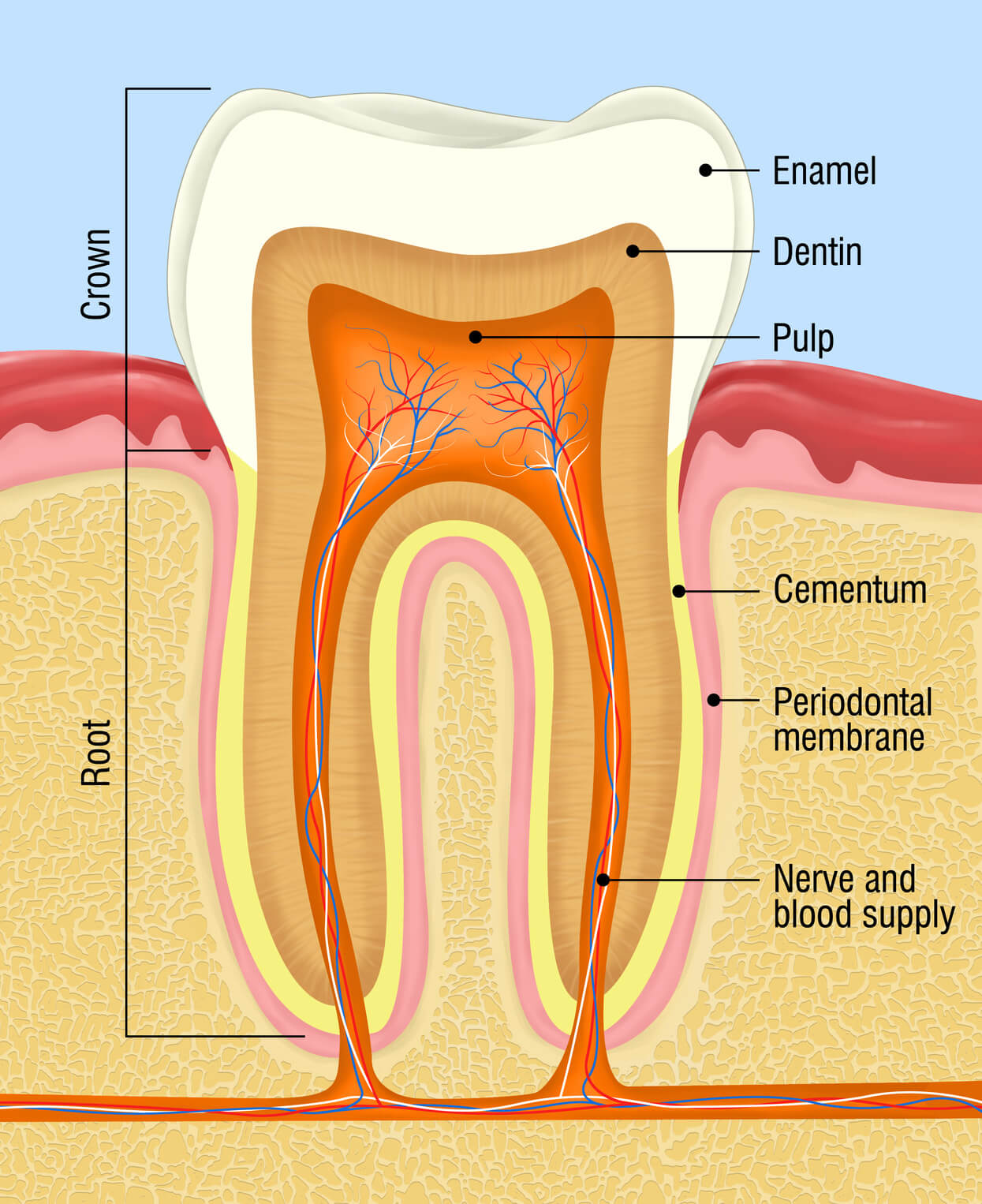 hight resolution of tooth layer diagram