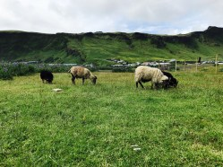 Sheep Grazing in Vik