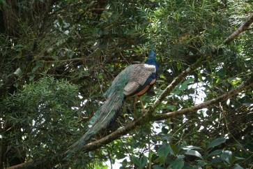 Peacock at Garden of Eden
