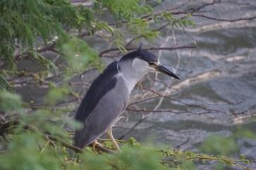 Auku'u or Black-crowned Night Heron