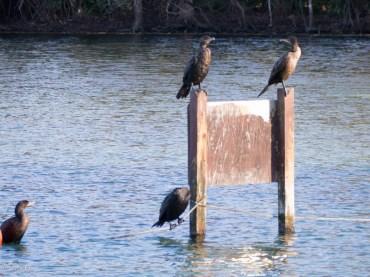 Cormorants enjoying the spring