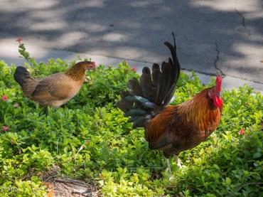Cuban Chickens
