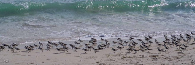 Synchronised Plover Running