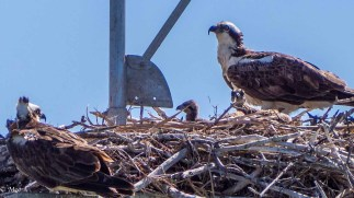 Osprey pair with chicks