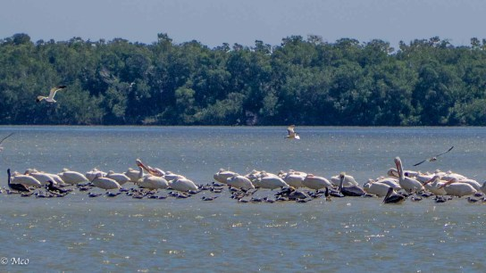 White Pelicans, Plovers ...