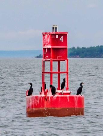 Cormorants on break