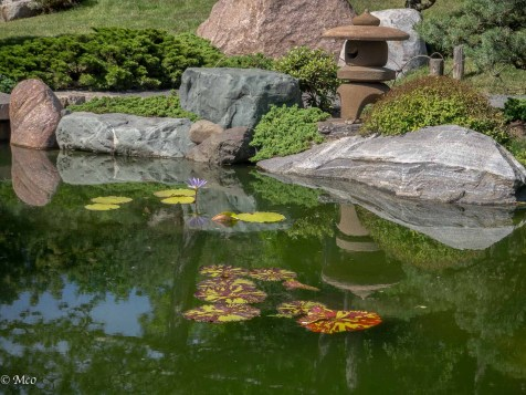 Variegated lily pads