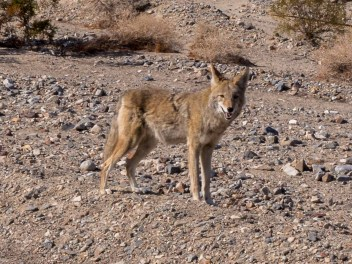 Coyote wondering if we are a food source