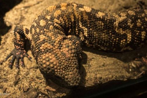 Gila Monster (venemous lizard)