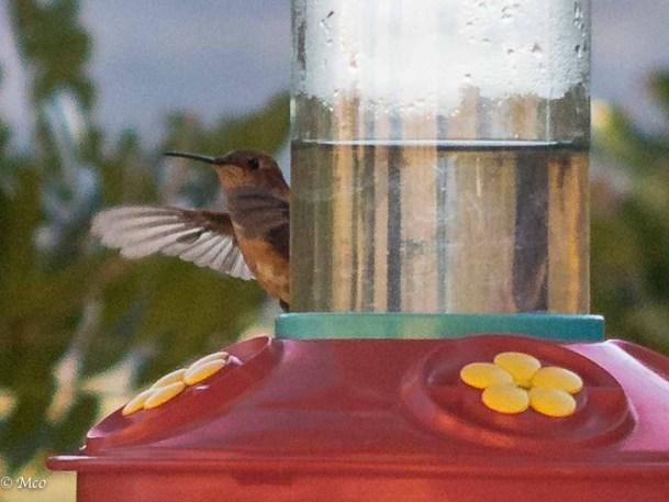 A Texas hummingbird