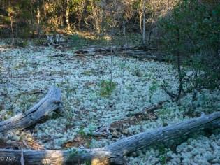 Lichen on the Forest Floor