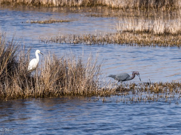 Snowy Egret and Little Blue Heron