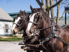 Clydesdales at work