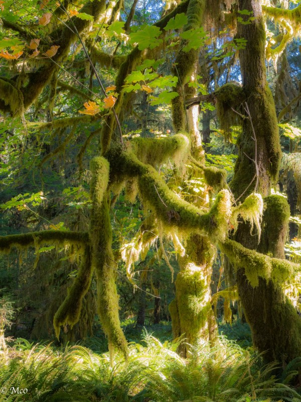 Hoh Rainforest, Olympic NP, WA