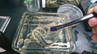 動物透明魚標本製作簡流HOW TO MAKE Transparent Specimens 2