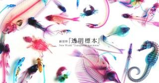 動物透明魚標本製作簡流HOW TO MAKE Transparent Specimens 4