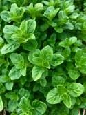 Green Oregano
