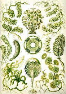 Drawing of seaweed