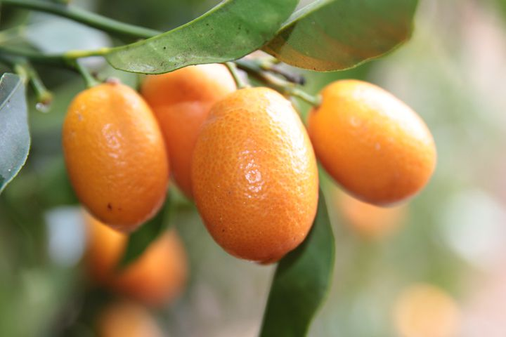 Kumquats on the tree