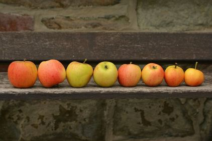 Apples lined up on a bench
