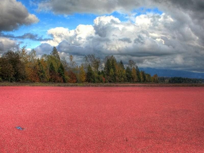 Image of cranberry bog under blue sky with clouds