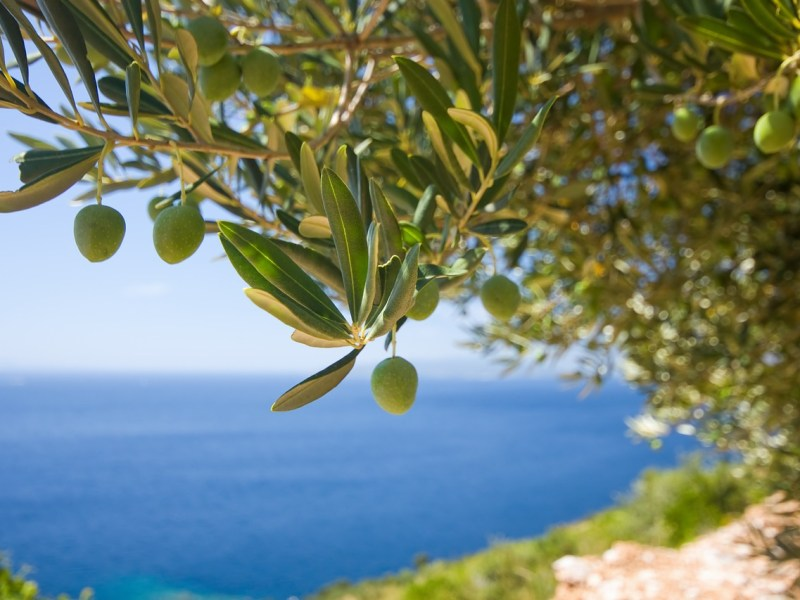 View of the sea through olive branches