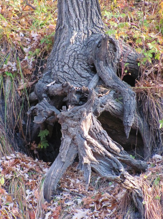 a tree with gnarled exposed roots